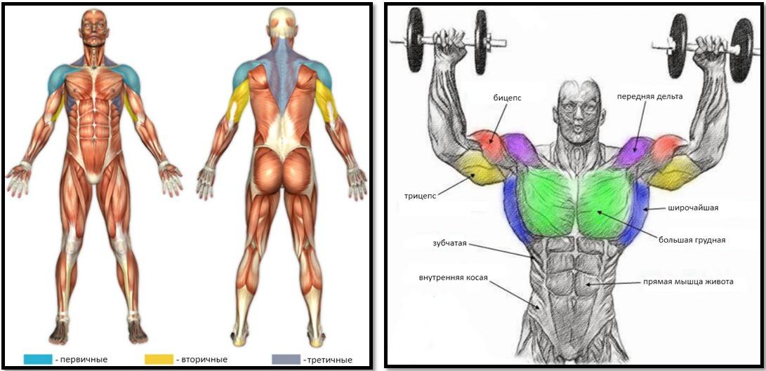 Жим гантелей стоя, мышцы в работе