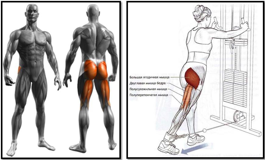 Отведение ноги назад в тренажёре. Полный мышечный атлас.
