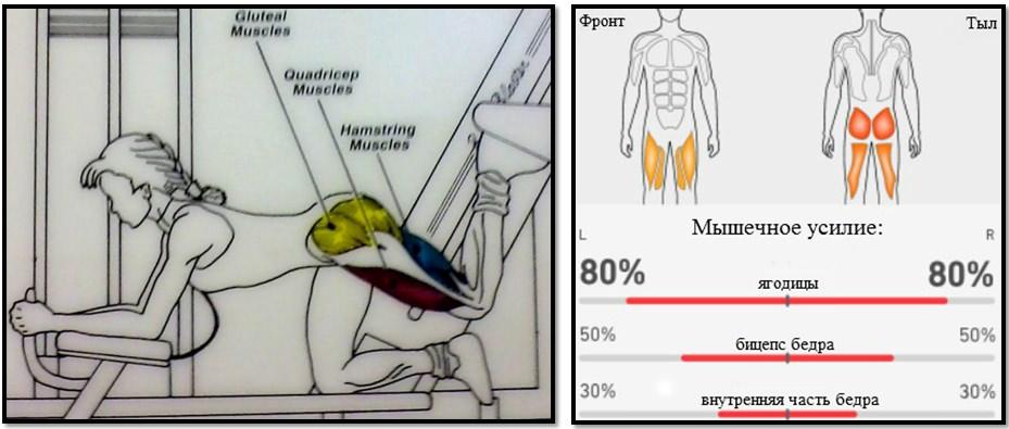 Отведение ноги назад с упором на руки. Мышечный атлас.