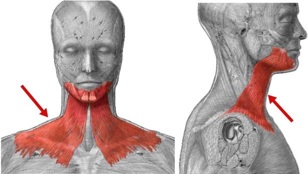 основная мышца шеи