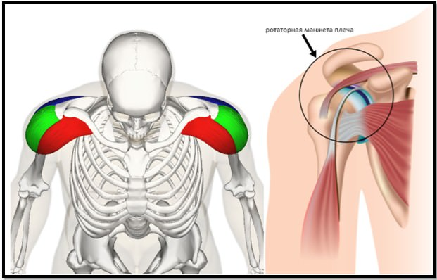 анатомия плеч