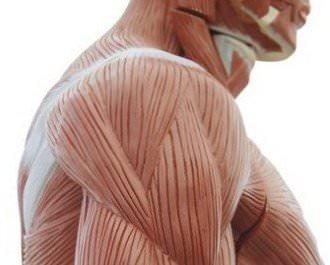 плотность мышц