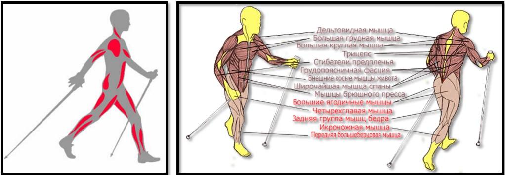 Северная ходьба мышцы в движении