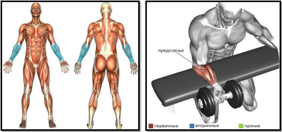 Сгибание запястий на скамье с гантелями мышцы