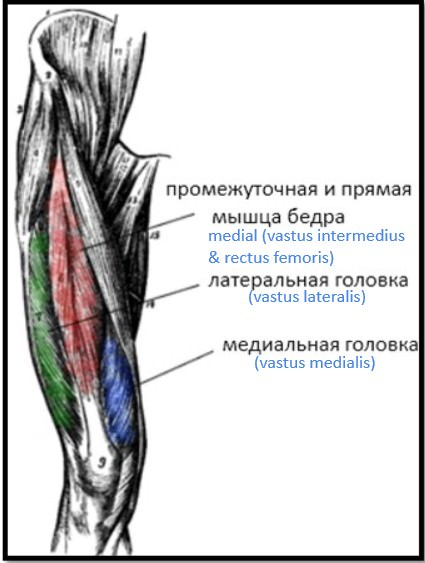 внутренняя и внешняя части квадрицепсов