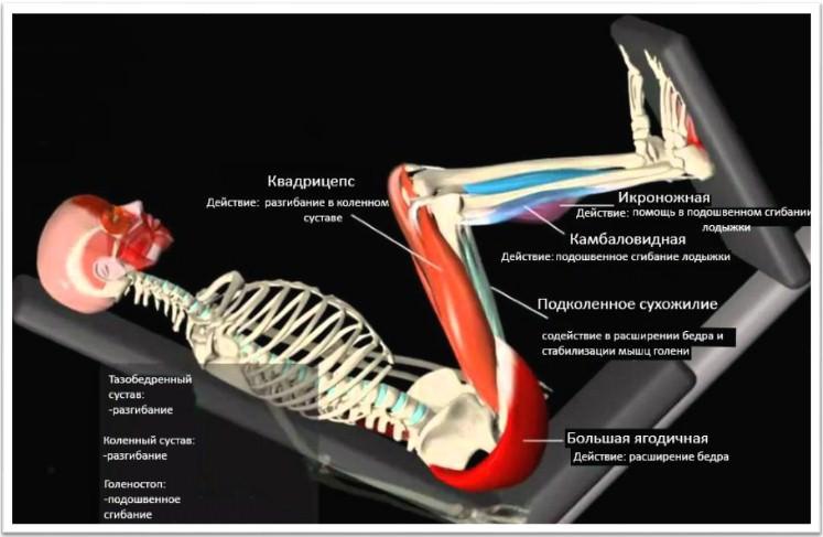 анатомия жима ногами