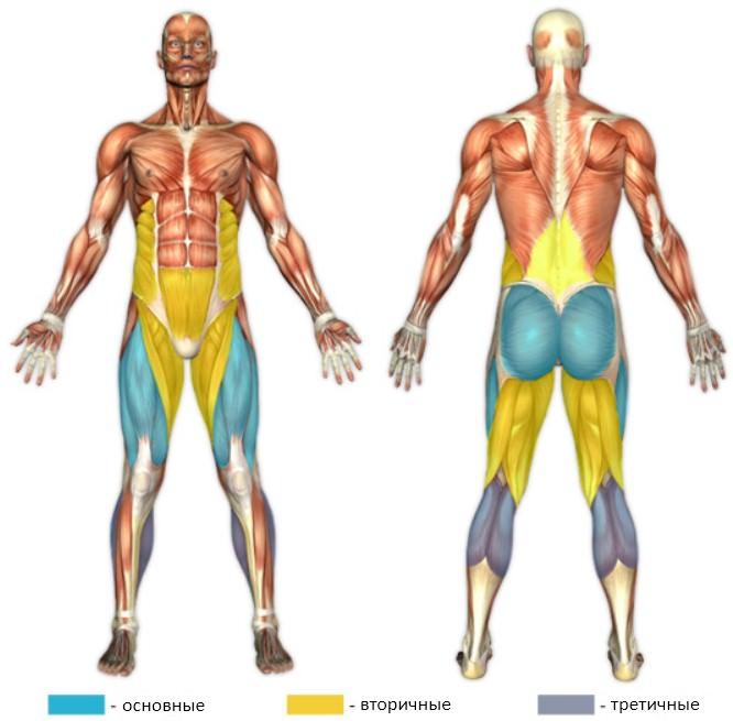 анатомический атлас фронтального приседа