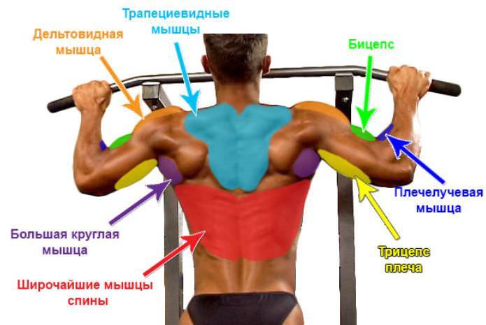 анатомия мышц при подтягивании