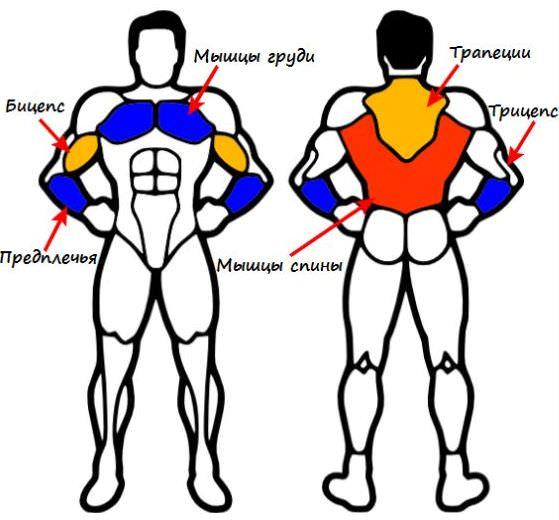 мышцы, подтягивание