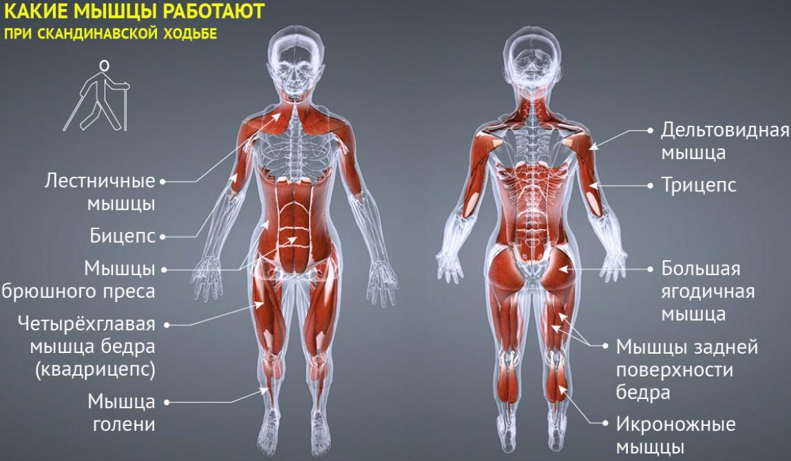 скандинавская ходьба мышцы