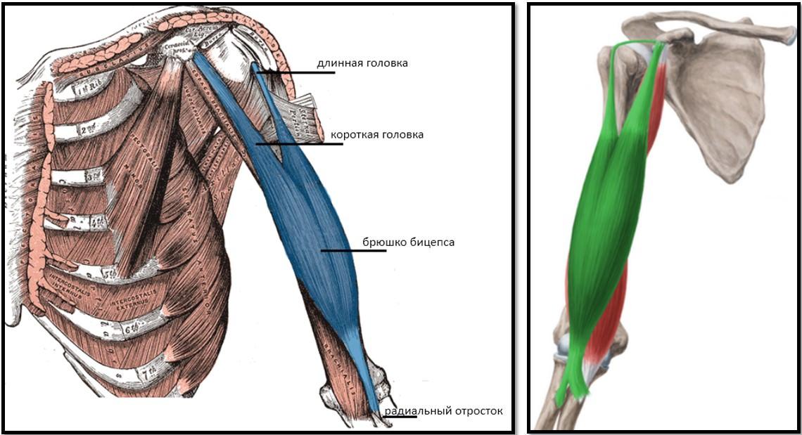 бицепс строение и анатомия
