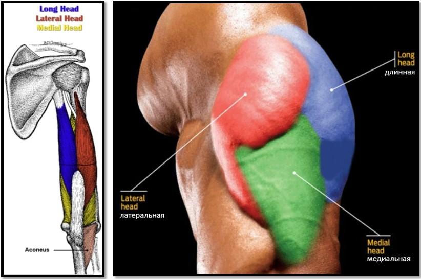 трицепс строение и анатомия