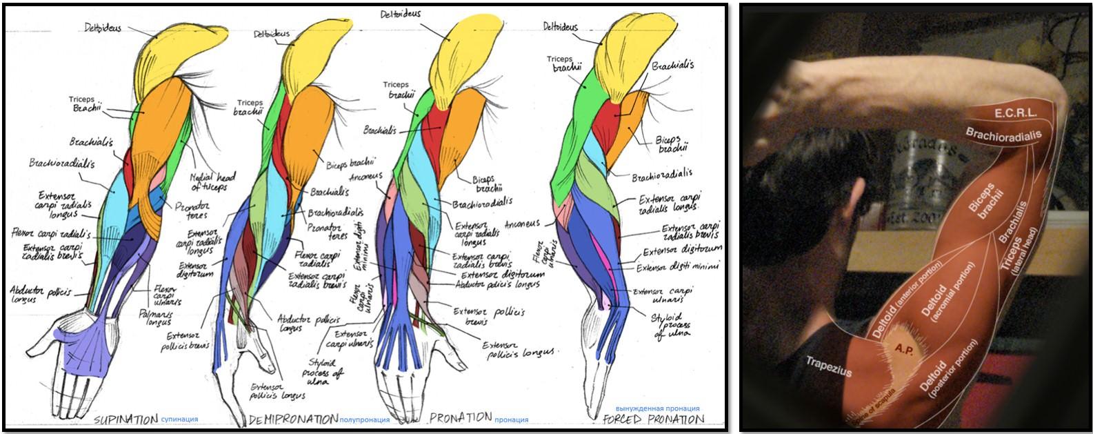 анатомический атлас мыщц рук