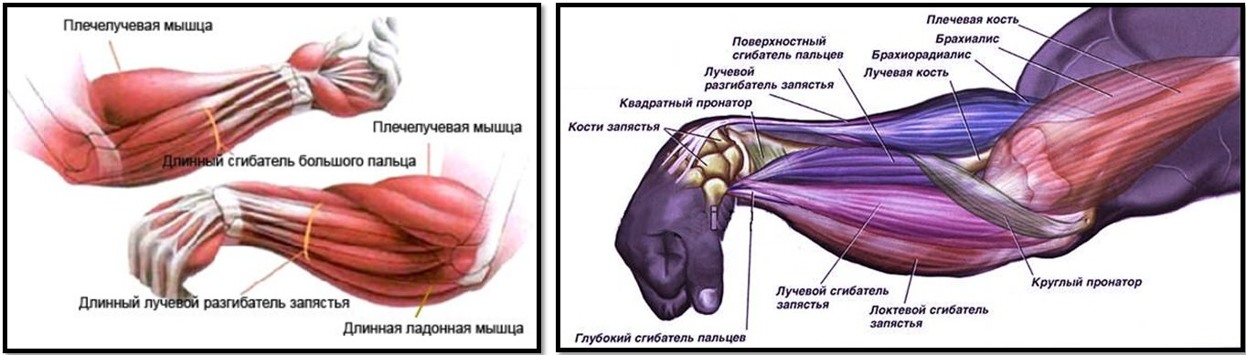 мышцы предплечья анатомия
