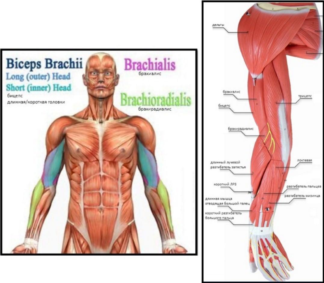 мышцы рук, анатомия