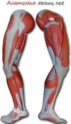 390BbFl Анатомия мышц ног. Качаемся правильно.