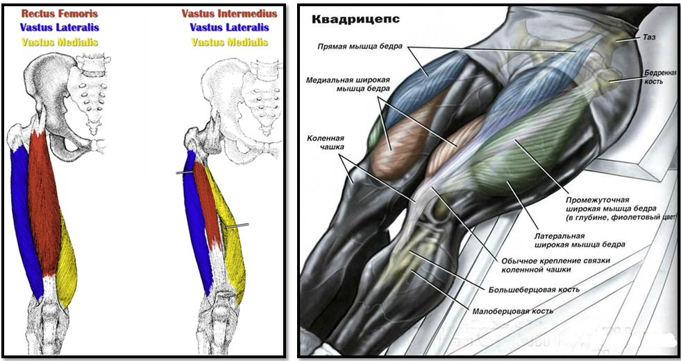 393m3Yc Анатомия мышц ног. Качаемся правильно.