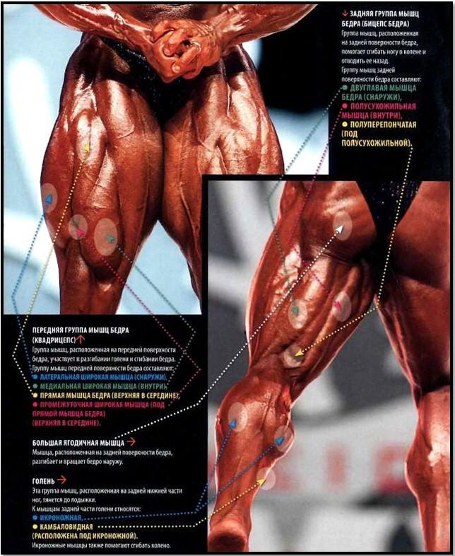 мышцы передней и задней поверхности бедра, анатомия