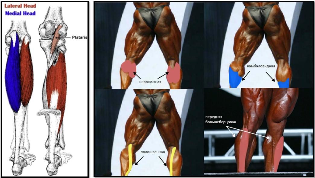 3941ScU Анатомия мышц ног. Качаемся правильно.