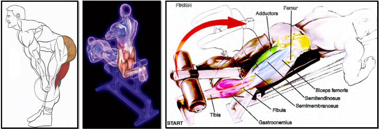 лучшие упражнения для мышц задней поверхности бедра