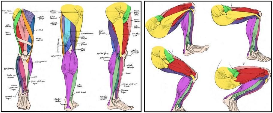 анатомия мышц ног, атлас, латинский