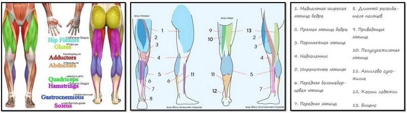 анатомический атлас мышц ног