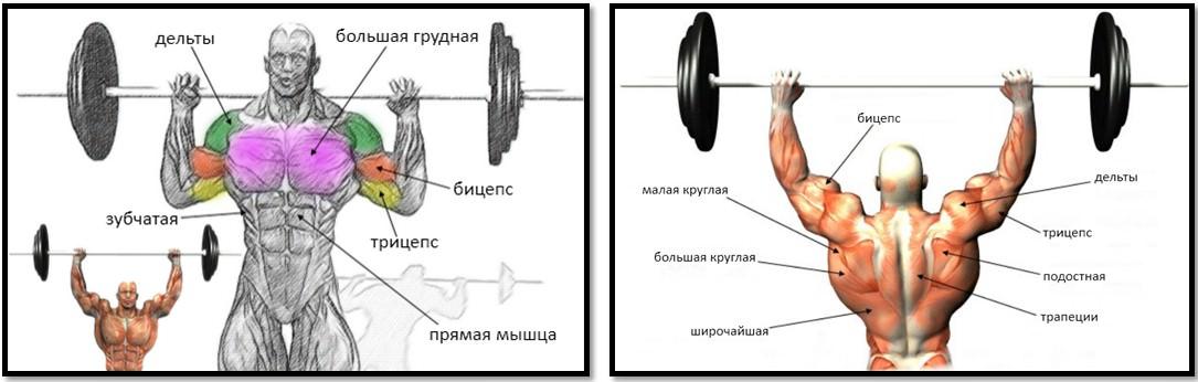 Жим штанги сидя анатомия мышц в упражнении