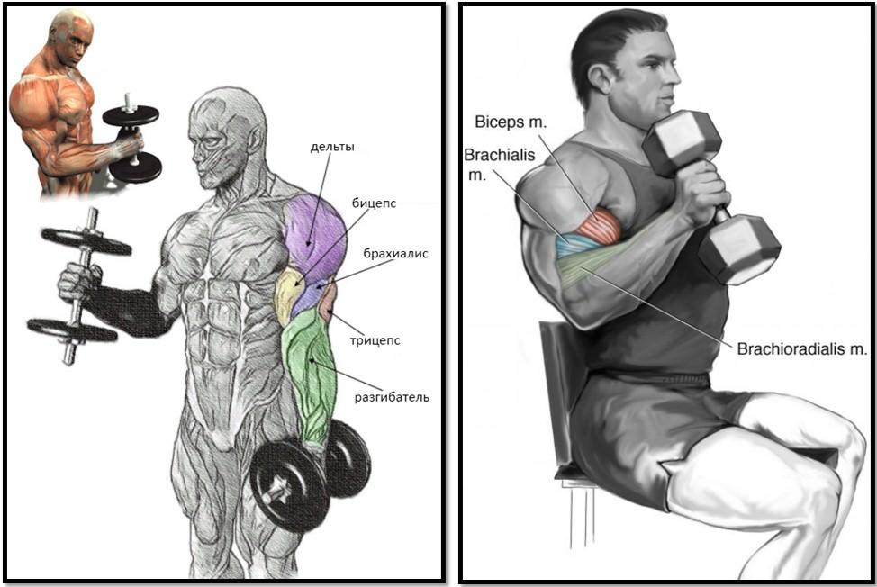 Упражнение молот, атлас мышц