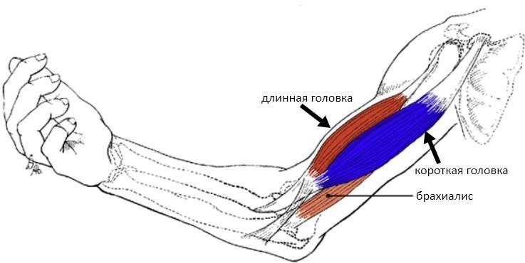 Бицепс анатомия