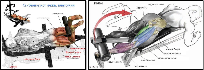 Сгибание ног лежа мышцы в работе