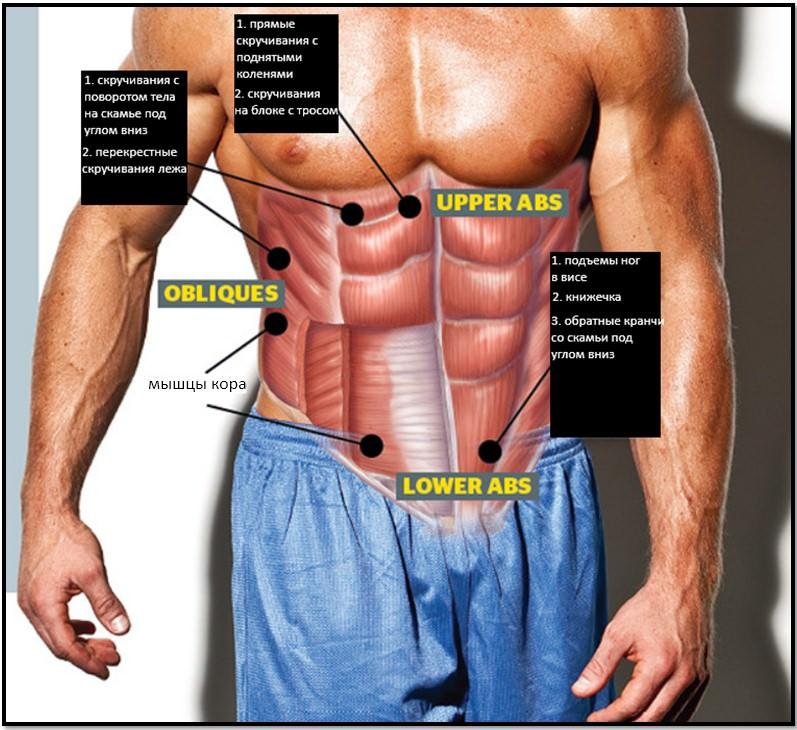 Анатомия мышц живота и упражнения
