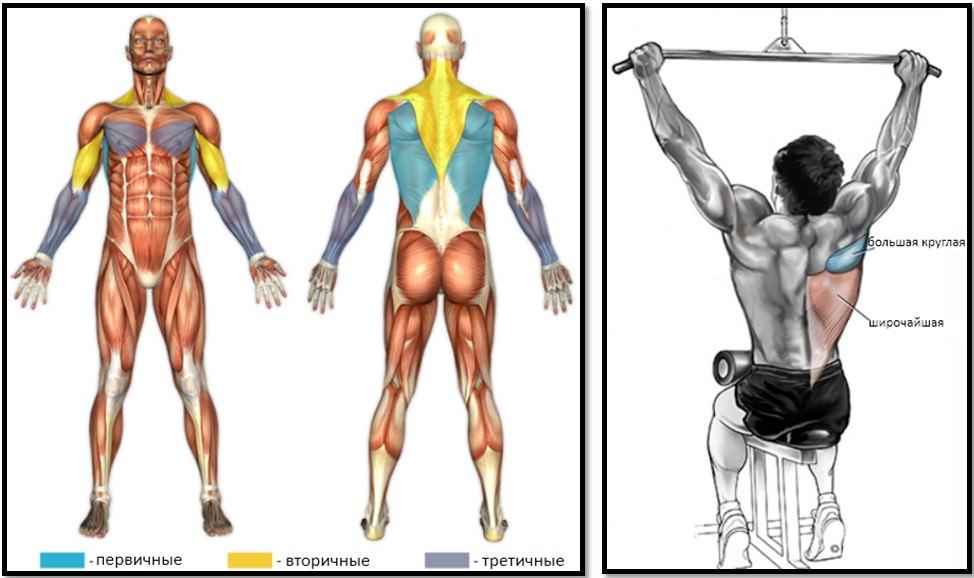 Тяга верхнего блока мышцы