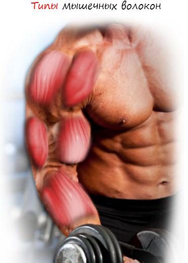 Типы мышечных волокон часть 1
