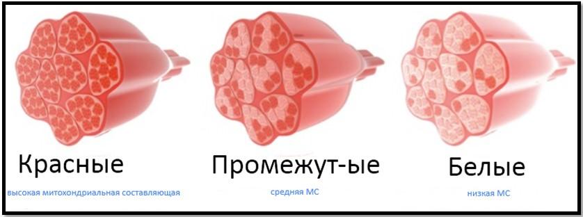 Типы мышечных волокон внешний вид