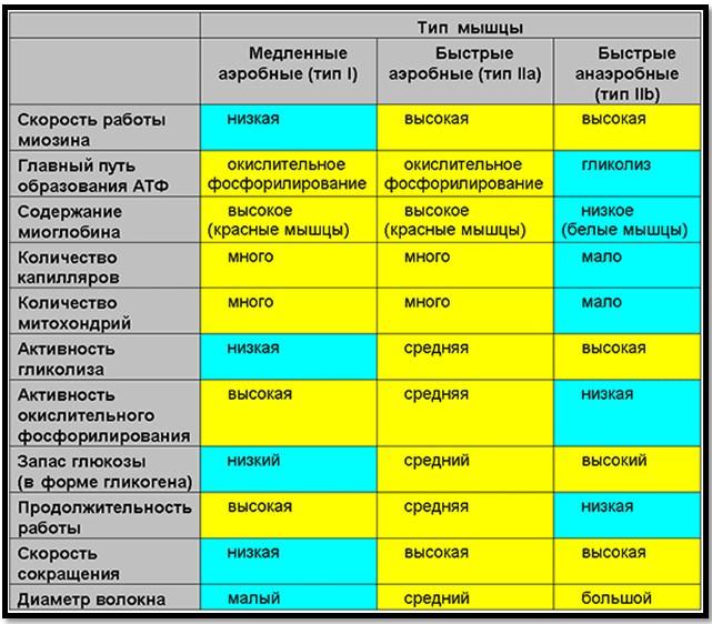 Типы мышечных волокон и их характеристики