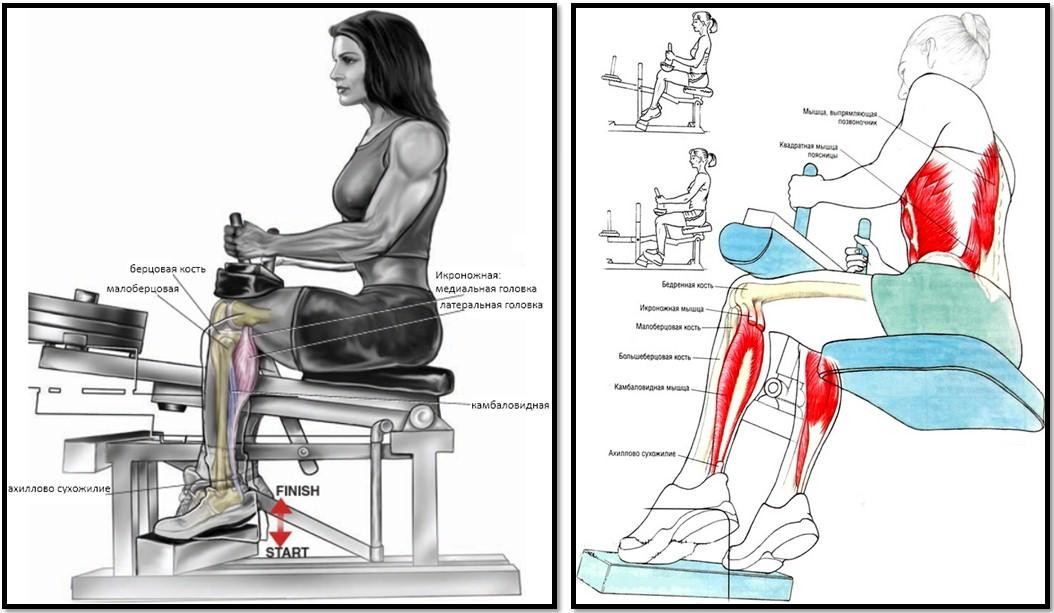 Подъемы на носки сидя, мышцы в работе