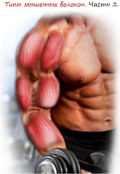Типы мышечных волокон часть 2