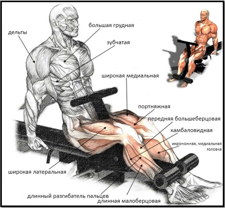 Разгибание ног сидя анатомия
