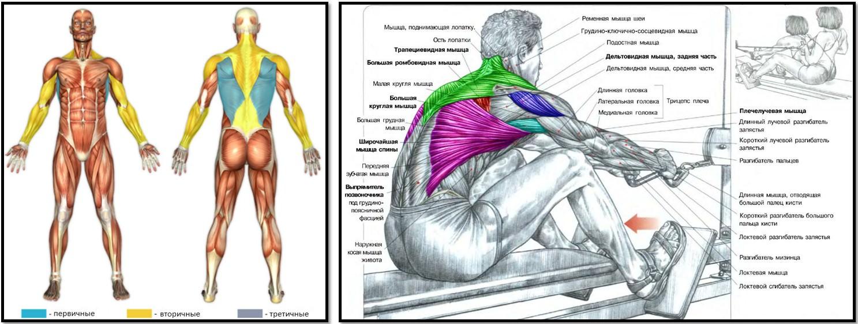 Тяга нижнего блока анатомия