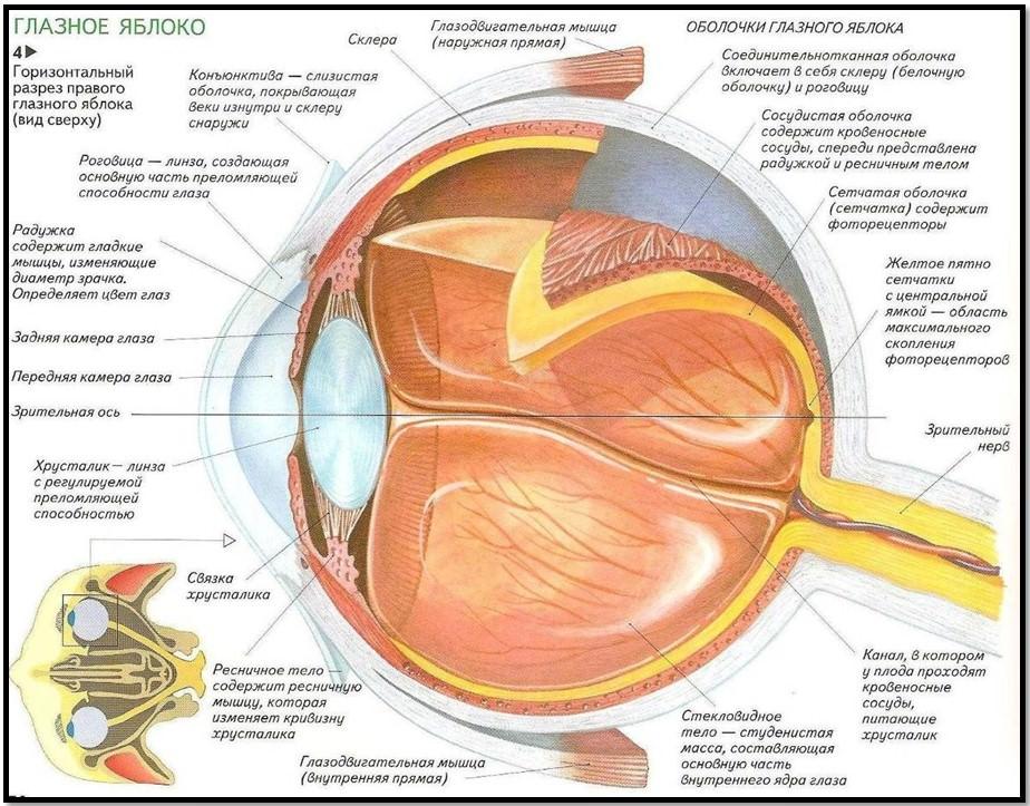 Структура строение глаза, схема
