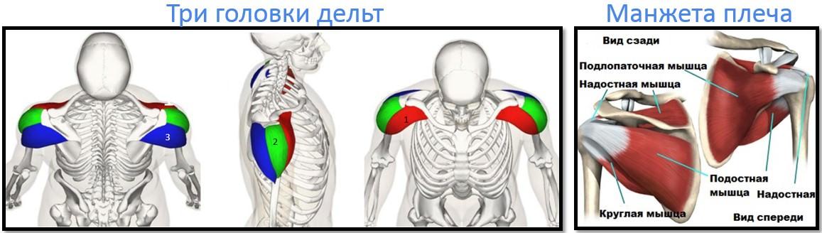 Анатомия плеч и ротаторной манжеты