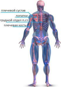 Склелетная анатомия плеч