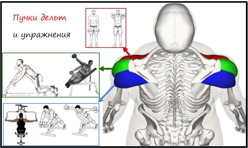 Упражнения для разных пучков дельт