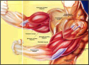 Анатомия мышц рук полный атлас