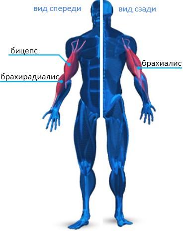 Анатомия мышц рук 2