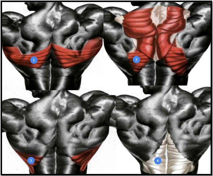 Мышцы спины анатомия отделы/сегменты
