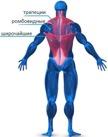 Основные мышцы спины