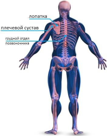 Скелетная анатомия спины