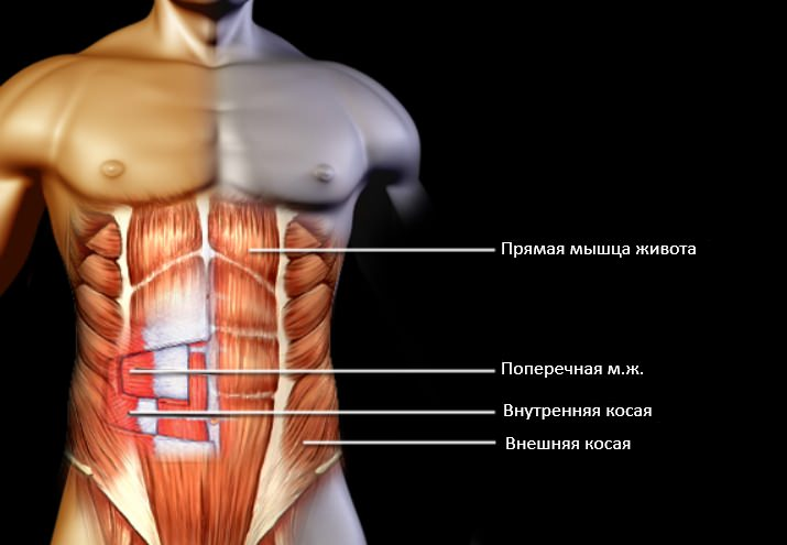 Анатомия мышц пресса