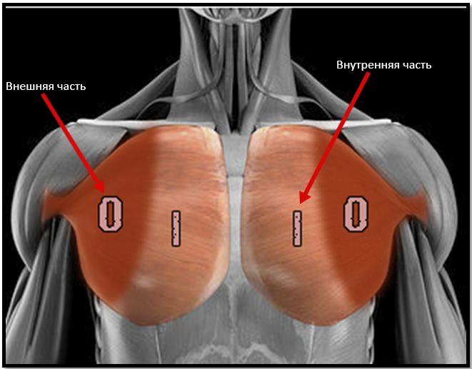 Внешние и внутренние части грудных мышц